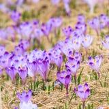Açafrões violetas de florescência Foto de Stock Royalty Free