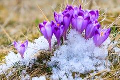 Açafrões violetas de florescência Imagem de Stock Royalty Free