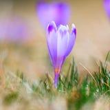 Açafrões violetas de florescência Fotografia de Stock
