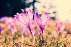 Açafrões violetas de florescência Fotos de Stock