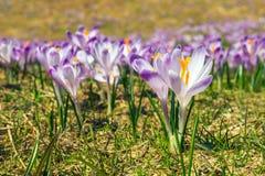 Açafrões violetas de florescência Imagem de Stock
