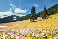 Açafrões violetas de florescência Fotos de Stock Royalty Free