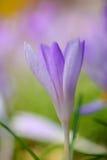 Açafrões violetas de florescência do foco raso na primavera Fotos de Stock Royalty Free