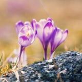 Açafrões violetas de florescência do vintage Foto de Stock