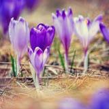 Açafrões violetas de florescência do vintage Foto de Stock Royalty Free