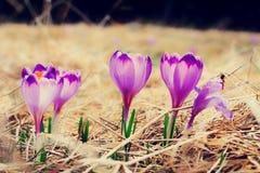 Açafrões violetas de florescência do vintage Fotos de Stock Royalty Free