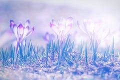 Açafrões violetas de florescência do vintage Imagens de Stock