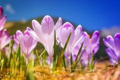 Açafrões violetas de florescência do vintage Imagem de Stock Royalty Free