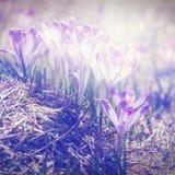 Açafrões violetas de florescência do vintage Fotografia de Stock