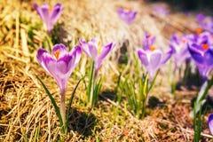 Açafrões violetas de florescência do vintage Fotografia de Stock Royalty Free