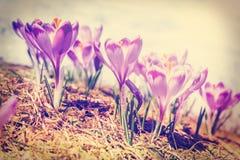 Açafrões violetas de florescência do vintage Imagem de Stock