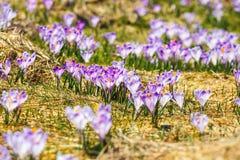Açafrões violetas de florescência em montanhas de Tatra Imagens de Stock