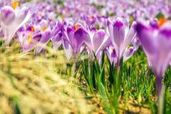 Açafrões violetas de florescência em montanhas de Tatra Imagem de Stock Royalty Free