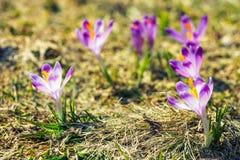 Açafrões violetas de florescência em montanhas de Tatra Fotos de Stock