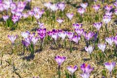 Açafrões violetas de florescência em montanhas de Tatra Foto de Stock Royalty Free