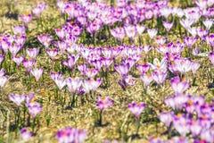 Açafrões violetas de florescência em montanhas de Tatra Fotografia de Stock