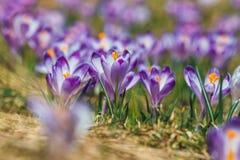 Açafrões violetas de florescência em montanhas de Tatra Fotografia de Stock Royalty Free