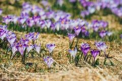 Açafrões violetas de florescência em montanhas de Tatra Imagem de Stock