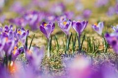 Açafrões violetas de florescência em montanhas de Tatra Imagens de Stock Royalty Free