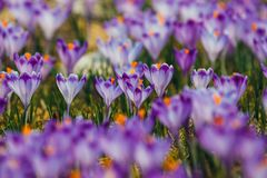 Açafrões violetas de florescência em montanhas de Tatra Foto de Stock
