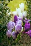Açafrões violetas de florescência em um fundo das folhas verdes Imagens de Stock Royalty Free