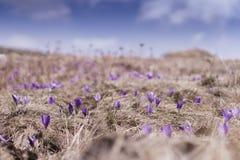 Açafrões violetas de florescência em um prado da montanha Foto de Stock Royalty Free