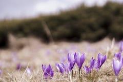 Açafrões violetas de florescência em um prado da montanha Fotografia de Stock