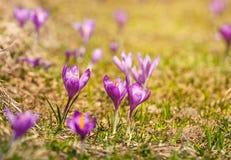 Açafrões violetas de florescência nas montanhas Fotos de Stock Royalty Free