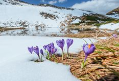 Açafrões violetas de florescência nas montanhas Carpathians, Ucrânia, Europa Fotografia de Stock