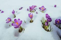 Açafrões violetas de florescência nas montanhas Carpathians, Ucrânia, Europa Foto de Stock