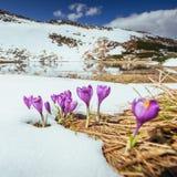 Açafrões violetas de florescência nas montanhas Carpathians, Ucrânia, Europa Fotos de Stock Royalty Free