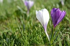 Açafrões violetas e brancos Clareira com açafrões Apenas chovido sobre Foto de Stock Royalty Free
