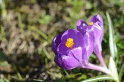 Açafrões violetas e brancos Clareira com açafrões Apenas chovido sobre Fotografia de Stock