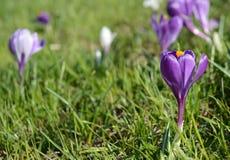 Açafrões violetas e brancos Clareira com açafrões Apenas chovido sobre Fotos de Stock