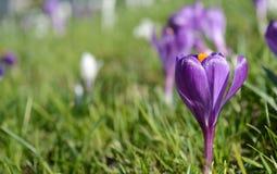Açafrões violetas e brancos Clareira com açafrões Apenas chovido sobre Imagens de Stock Royalty Free