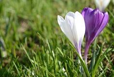 Açafrões violetas e brancos Clareira com açafrões Apenas chovido sobre Fotos de Stock Royalty Free