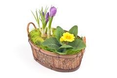 Açafrões violetas e primrose amarelo Fotografia de Stock