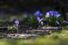 Açafrões violetas em um jardim, tempo de mola Imagem de Stock Royalty Free