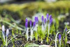 Açafrões violetas em um jardim, tempo de mola Fotografia de Stock