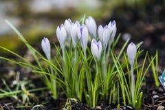 Açafrões violetas em um jardim, tempo de mola Imagens de Stock