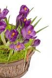 Açafrões violetas em um potenciômetro Fotos de Stock Royalty Free