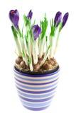 Açafrões violetas em um potenciômetro isolado Fotografia de Stock