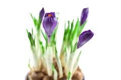 Açafrões violetas em um potenciômetro isolado Fotos de Stock Royalty Free
