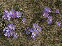Açafrões violetas em um prado Foto de Stock Royalty Free