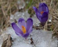 Açafrões violetas entre a neve e a grama velha Foto de Stock