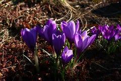 Açafrões violetas entre um sedum Fotografia de Stock