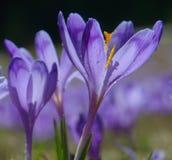 Açafrões violetas iluminados com gotas da água Imagens de Stock