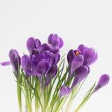 Açafrões violetas Isolado Conceito do cartão da mola Fotos de Stock Royalty Free