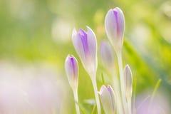 Açafrões violetas lisos entre a grama Foto de Stock