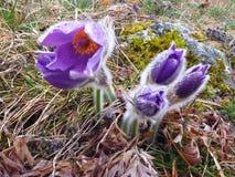 Açafrões violetas molhados na primavera Imagens de Stock Royalty Free
